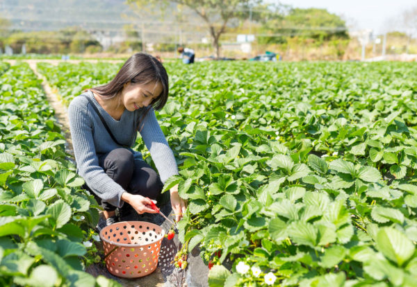 woman-picking-up-strawberry-in-field-FQ4X5RA_Easy-Resize.com